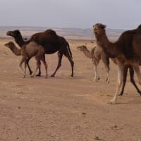 CHECT photo - Camels in the desert